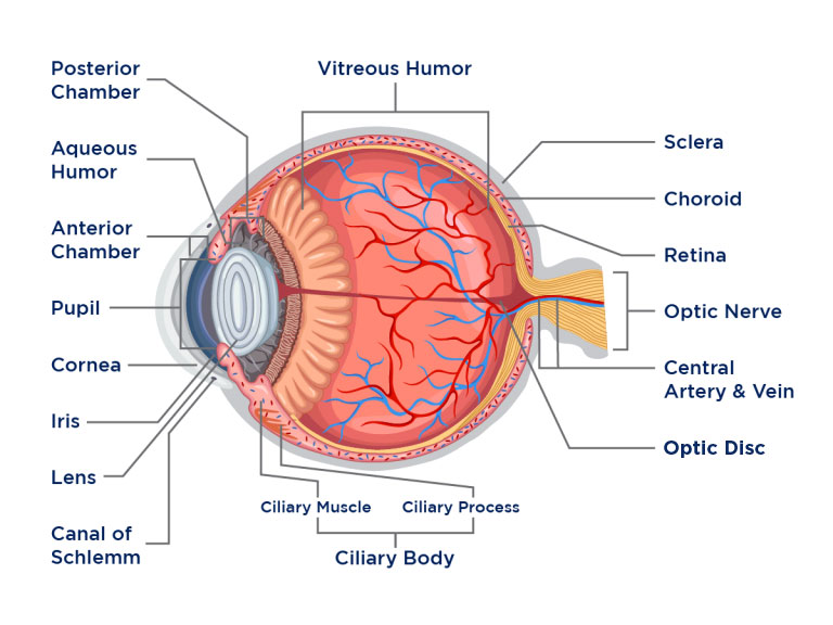 Anatomy of the Eye - Diagnosis 101
